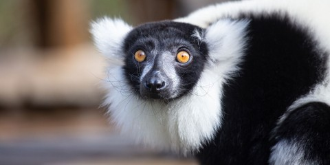 A small black-and-white ruffed lemur with thick fur, a white mane around its face and yellow eyes