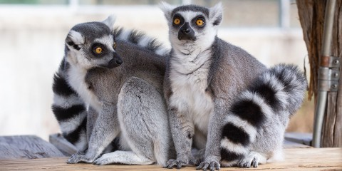 Two ring-tailed lemurs with thick fur, yellow eyes, and ringed tails sit close together on a small wooden deck