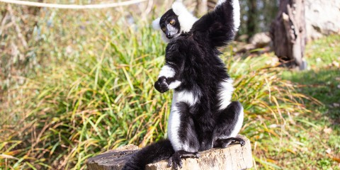 A small black-and-white ruffed lemur with thick fur, a mane around its face, long fingers and a long tail stands on its hind legs on top of a tree stump with long grass in the background
