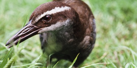 A close-up photo of a Guam rail bird in the grass