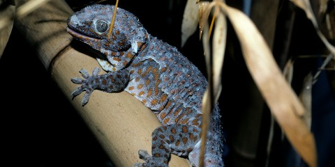 A gray-blue gecko with rust-orange spots holds onto a tan branch