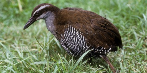 A Guam rail bird standing in the grass