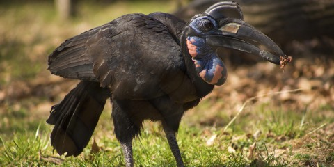 hornbill standing on lawn