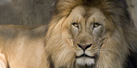 A close-up of a male African lion with a large mane