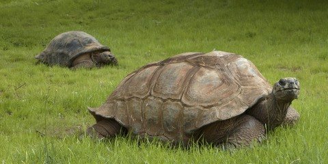 Aldabra Tortoise Smithsonian S National Zoo