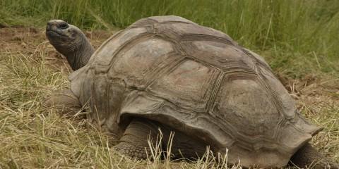 Aldabra tortoise   Smithsonian's National Zoo