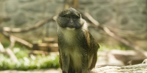 Allen's swamp monkey