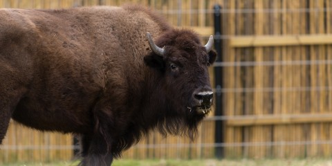large hoofed animal with short curved horns and brown fur
