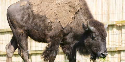 large hoofed animal with short horns and molting fur