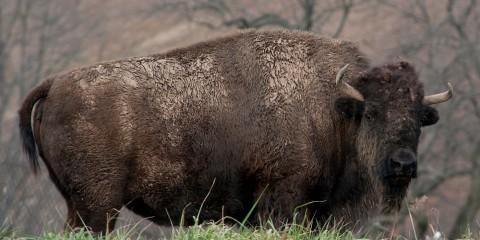American bison | Smithsonian's National Zoo