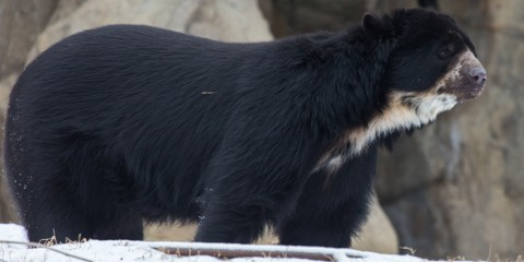 An Andean bear walking through the snow
