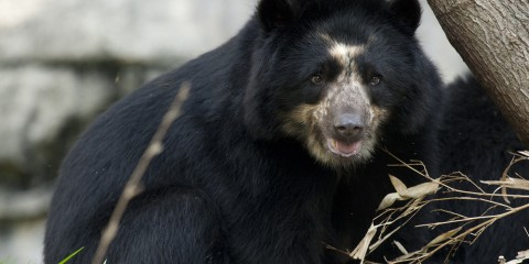 An Andean bear climbing over a log