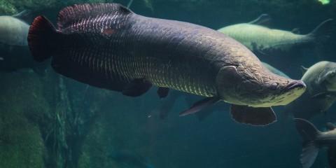Arapaima | Smithsonian's National Zoo