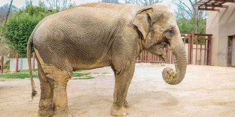 Asian elephant | Smithsonian's National Zoo