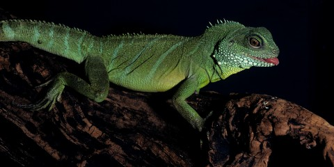Iguana asexual reproduction of plants