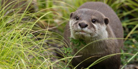 Asian small-clawed otter near grass