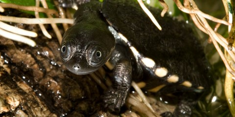 A baby Australian snake-necked turtle, with dark gray skin and a dark gray shell with white spots around its edge, climbs out of the water onto a log