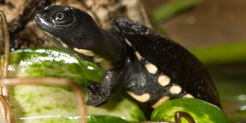 A baby Australian snake-necked turtle that is dark gray with white spots on its underside and around the edge of its shell climbs out of the water onto a green leaf