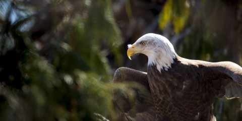 Bald eagle spreads its humongous wings