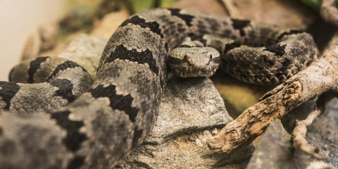 A gray snake with black-blotched stripes along its body, called a banded rock rattlesnake, slithers across a rock and branches