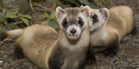 Black-footed ferret | Smithsonian's National Zoo
