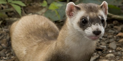 a black-footed ferret on dirt