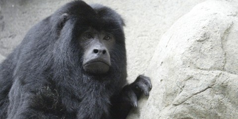 Head of black monkey with long hair on its head