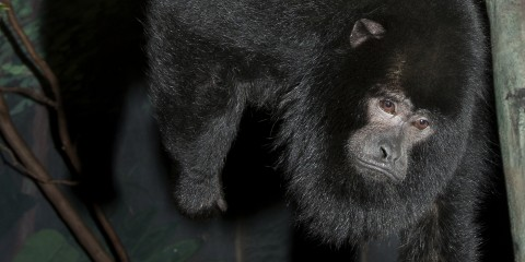 Black monkey with thick fur and a rather dour expression
