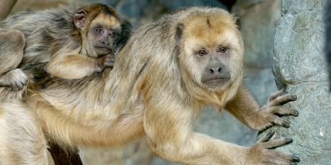 Black howler monkey with baby on back