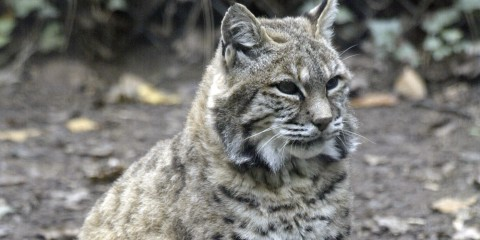Show Me A Picture Of A Bobcat >> Bobcat Smithsonian S National Zoo