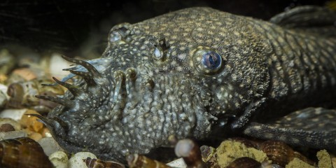 gray fish resting on gravel with tentacles on its face