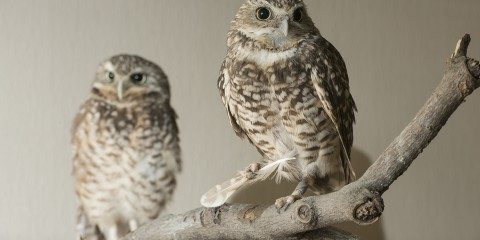 Two owls perched on a branch and facing forward. Their plumage is brown and white and they have short, hooked beaks