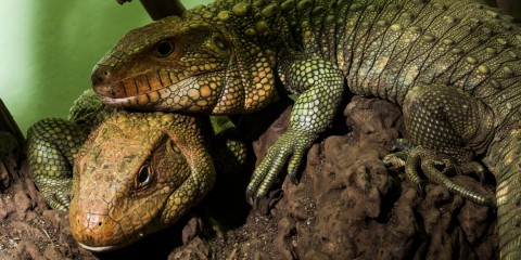 Two caiman lizards on a log