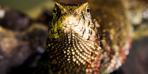 A Chinese crocodile lizard with small, pointed scales looking directly at the camera.