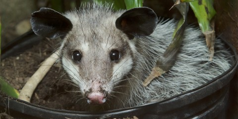 A common opossum sitting in a black bin filled with dirt