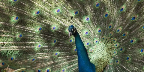 Common peafowl   Smithsonian's National Zoo