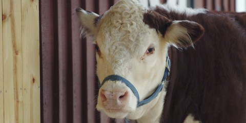 A red and white polled hereford cow named Rose with a blue harness around her face