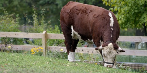 A red and white polled hereford cow named Rose grazing in the grass
