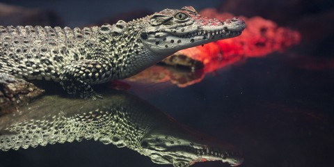 cuban crocodile with reflection in water