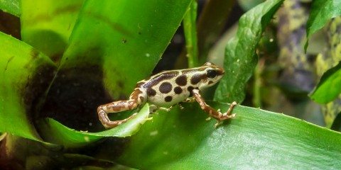 mottled brown and white frog stepping across a leaf
