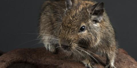 Small furry animal