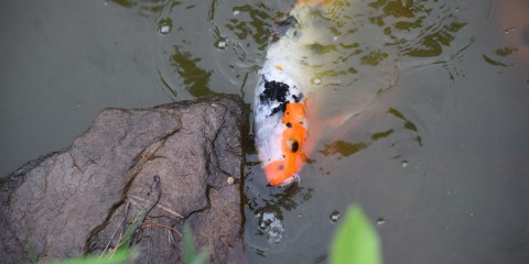 An orange and white Japanese koi fish swimming in a pond