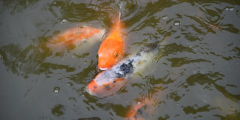 Japanese koi smithsonian 39 s national zoo for Ornamental pond fish types