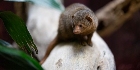 A dwarf mongoose, a small, furry brown mammal with small ears and a long tail, stands on a branch