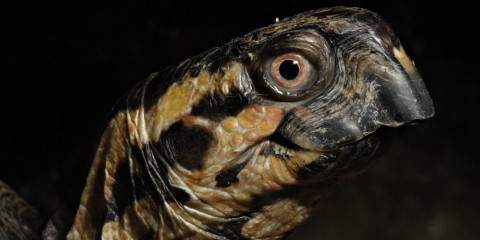 A close-up photo of the profile of an eastern box turtle's face