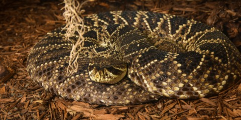 An eastern diamondback rattlesnake with light gray skin covered in mottled black and cream colored scales is curled up in the mulch, resting its head on its body