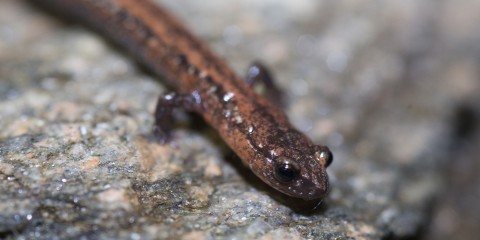 Thin, wormlike salamander with miniscule front legs and large eyes. The skin is wet-looking and reddish-brown speckled w/ blac