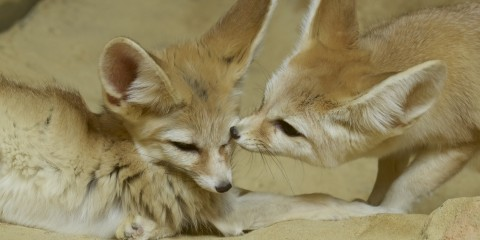 Asian Fox Webcam