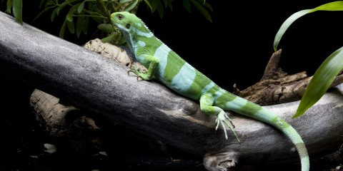 A Fiji banded iguana