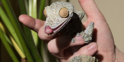 A hand holding a giant leaf tailed gecko with its tongue sticking out